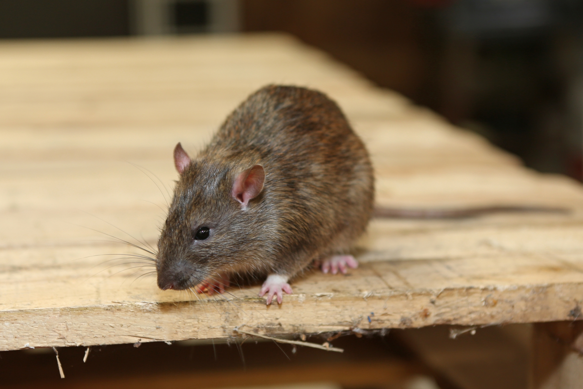 Rat Infestation, Pest Control in Hackney, Homerton, E9. Call Now 020 8166 9746