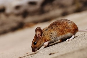 Mice Control, Pest Control in Hackney, Homerton, E9. Call Now 020 8166 9746