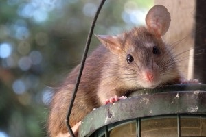 Rat Control, Pest Control in Hackney, Homerton, E9. Call Now 020 8166 9746